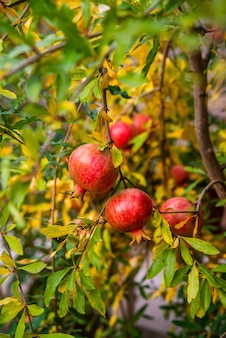Ripe pomegranates on the branches in the garden