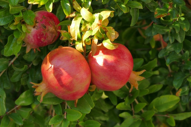 Ripe pomegranates on a tree in peloponnese