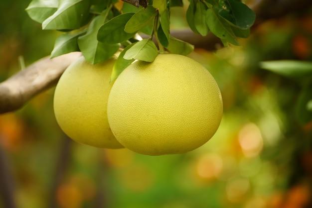 잘 익은 포멜로 과일은 감귤 정원의 나무에 매달려 있습니다. 과수원에서 열대 포멜로를 수확합니다. 포멜로는 중국의 전통 설날 음식으로 행운을 가져다줍니다. 농업 식품 배경