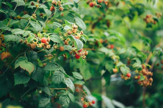 Ripe raspberries hanging on a big bush, vegetarian food, organic food, natural food.