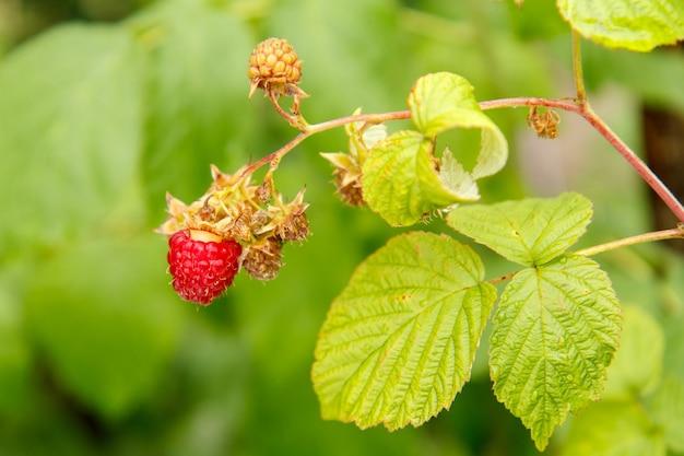 Спелая малина в плодовом саду. спелая красная малина на кусте. выборочный фокус.