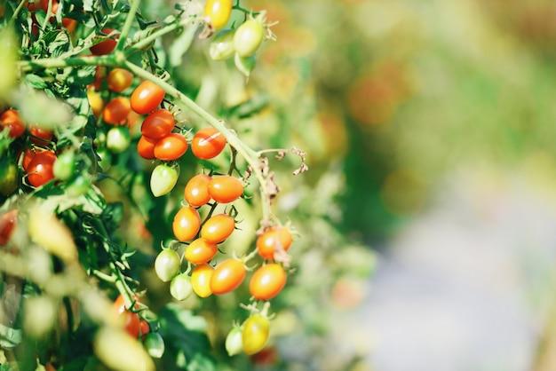정원에서 포도 나무에 잘 익은 빨강 및 녹색 토마토 수확 준비-토마토 식물 유기 자연 농업