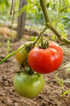 정원 침대에서 자라는 잘 익은 빨간색과 잘 익은 토마토. 빨강 및 녹색 과일과 함께 온실에 있는 토마토. 분기에 토마토입니다. 필드의 얕은 깊이.