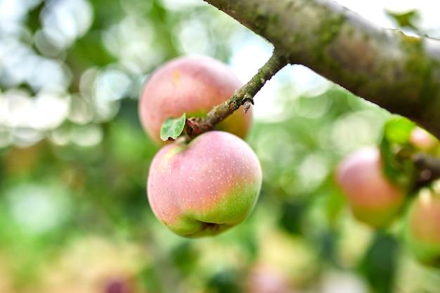 木、リンゴの木の枝に熟した赤いリンゴ果実