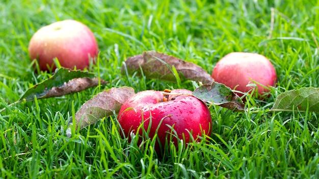 芝生の上の庭から熟した赤いリンゴ。りんごの収穫