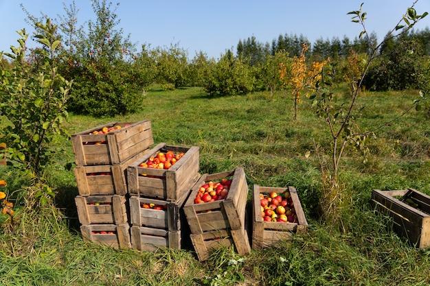 果物狩りの日に大きな木箱に熟した赤いリンゴ。