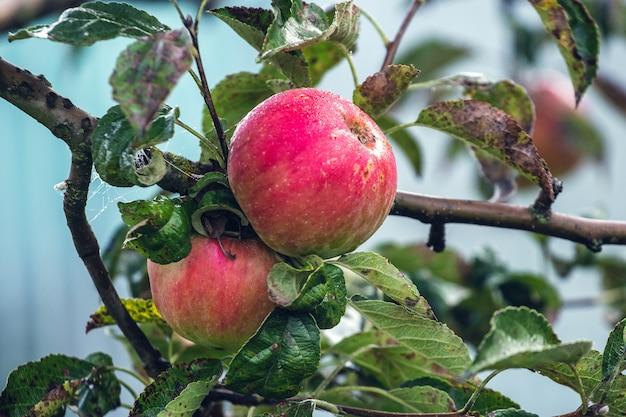 秋の木の庭で熟した赤いリンゴ