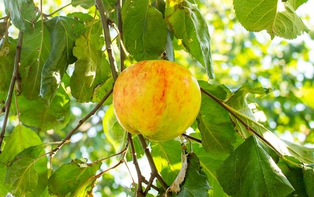 정원에 있는 사과 나무 가지에 익은 빨간 사과가 수확할 준비가 되었습니다.