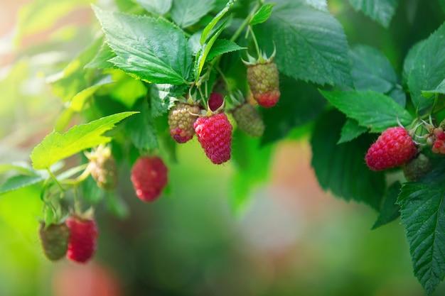Спелые красные ягоды малины ремонт на ветке