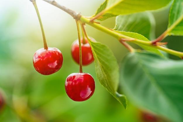 Спелые красные вишни на ветке дерева