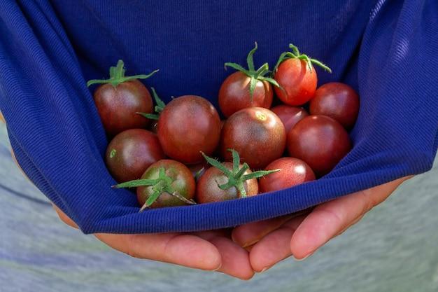 여자의 손에 익은 빨간 체리 토마토. 여름에 토마토 수확을 손에 들고 있는 농부. 확대. . 농장의 농산물을 들고 있는 여자. 유기농 에코 식물 재배.