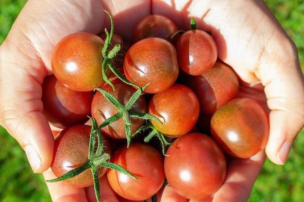 여자의 손에 익은 빨간 체리 토마토. 여름에 토마토 수확을 손에 들고 있는 농부. 평면도. 농장의 농산물을 들고 있는 여자. 유기농 에코 식물 재배.