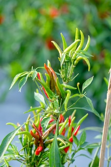 Ripe red and green chilli on a tree, green chilies grows in the garden
