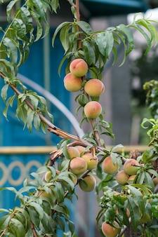 Спелые красные персики на дереве в солнечный летний день с загородным домом на заднем плане.