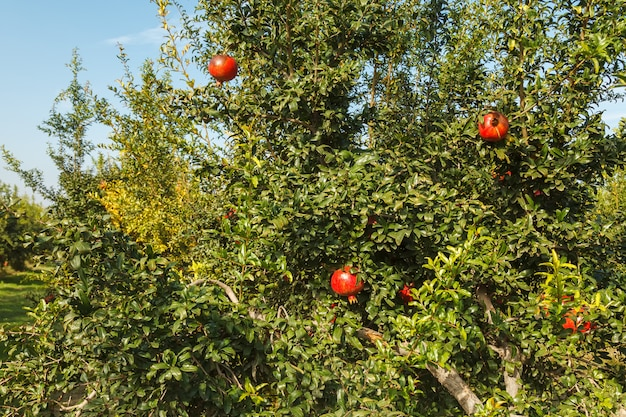 Ripe red pomegranate on a tree in the wild, turkey