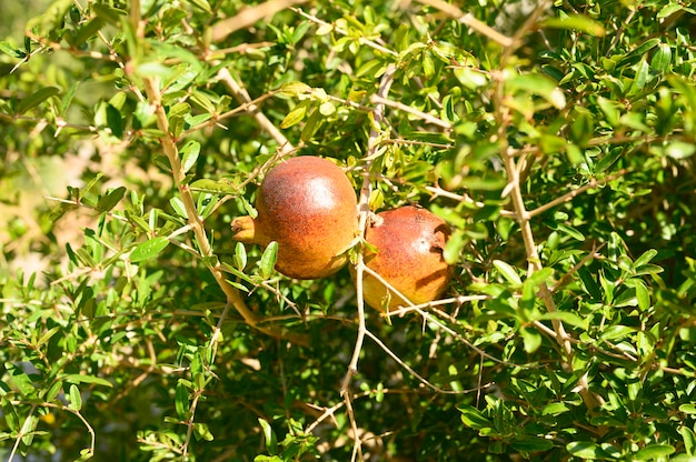 Ripe red pomegranates grow on a tree branch in the garden