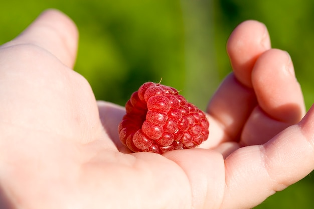 熟した赤いラズベリーベリーは、自然界の人の開いた手のひらにあります