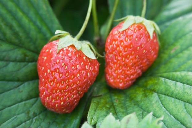 庭で熟した赤いイチゴ