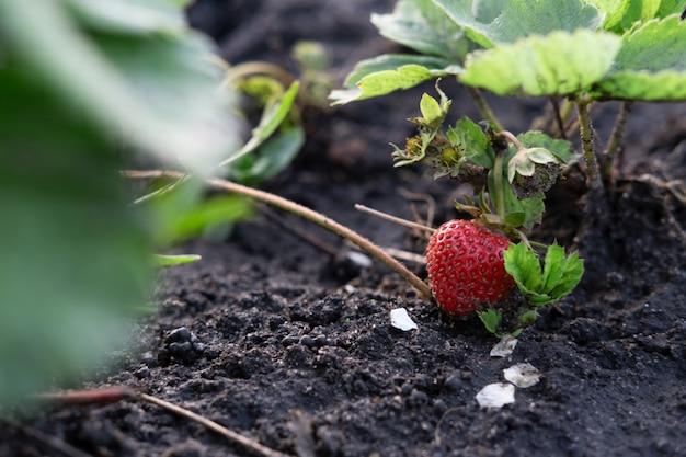 Спелая красная клубника в саду. выращивание клубники на ферме. пермакультура.