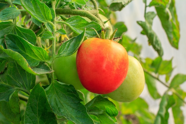정원 침대에서 자라는 익은 빨간 토마토. 과일과 함께 온실에 있는 토마토. 지점에 빨간 토마토입니다.