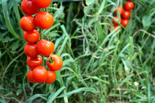 Ripe red tomatoes hanging on the green foliage, hanging on tomato bush in the garden.