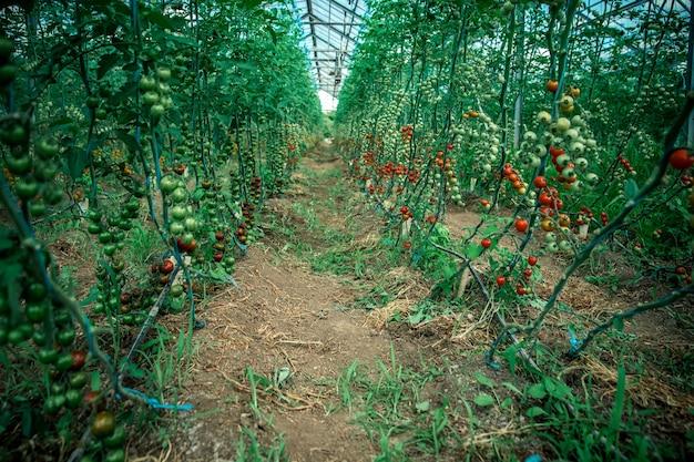 温室内の有機品質の熟した赤いトマト