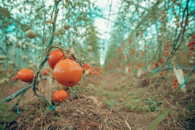 온실에서 유기 품질에 잘 익은 빨간 토마토