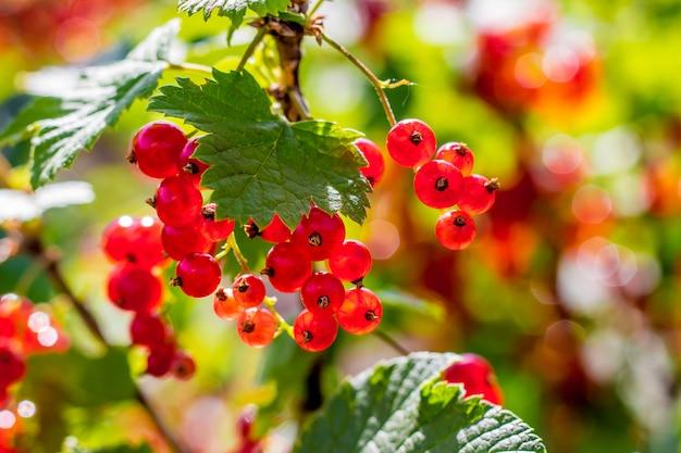晴れた日にブッシュの熟したスグリの果実