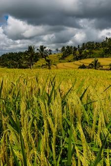 Ripe rice ears close up. rice terraces landscape.