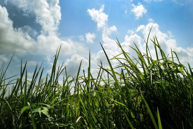 농장에서 잘 익은 쌀 필드와 하늘 풍경