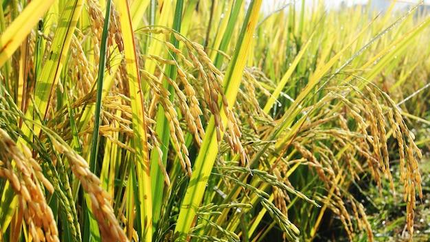 Ripe rice in a paddy field thai rice field