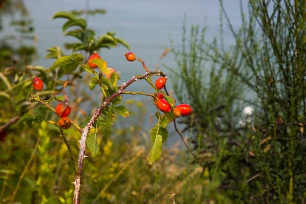 Спелые плоды шиповника на кусте в саду. ягоды шиповника на ветке