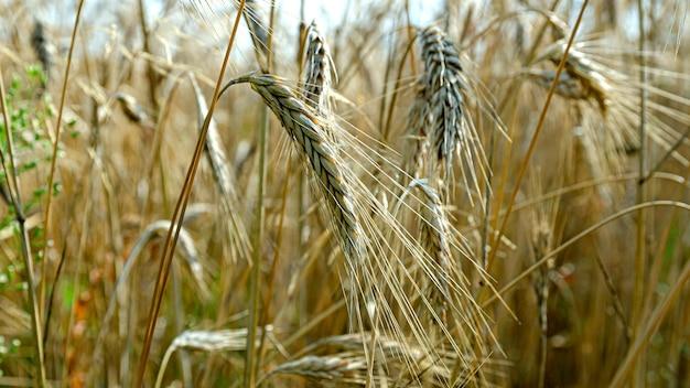 Ripe rye ears in the field