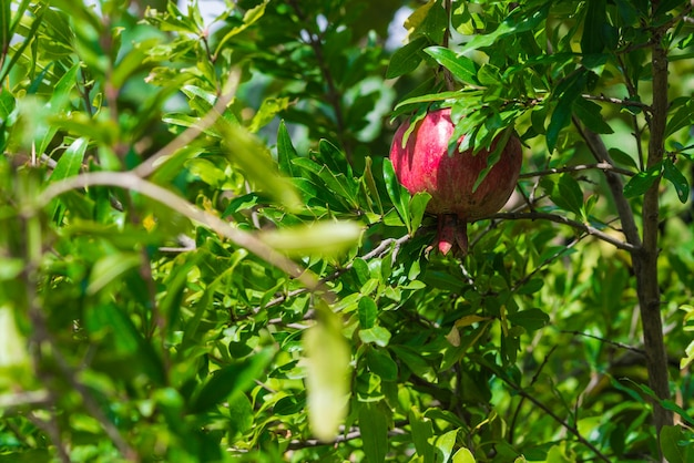 Ripe and small pomegranate fruit on tree branch