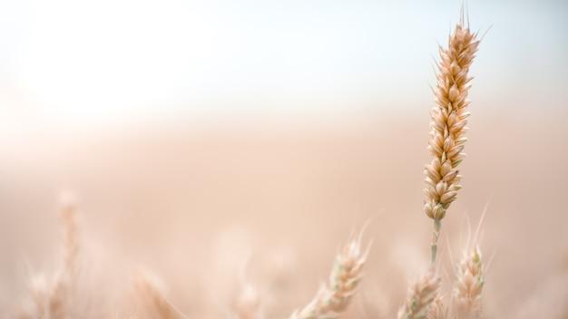 Спелый колоск пшеницы на поле. концепция одиночества. урожай зерновых готов к уборке.