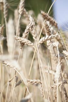 小麦の熟した小穂は日光の下で畑で育ちます
