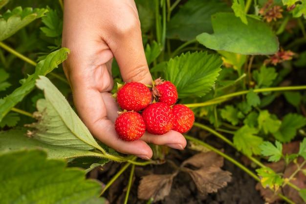 葉を背景に女性の手で熟したイチゴ。コピースペース
