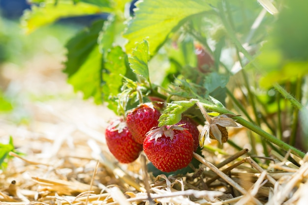 Ripe strawberries on a plantation, the rows between which are covered with straw.