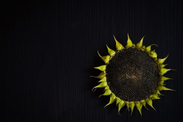 어두운 배경에 씨앗과 녹색 잎 잘 익은 해바라기