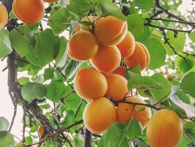 果樹園のアプリコットの木の枝に生えている熟した甘いアプリコットの果実