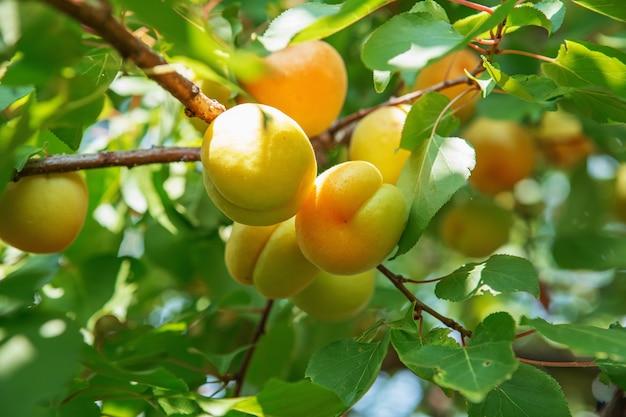 アプリコットの木の枝に生えている熟した甘いアプリコットの果実