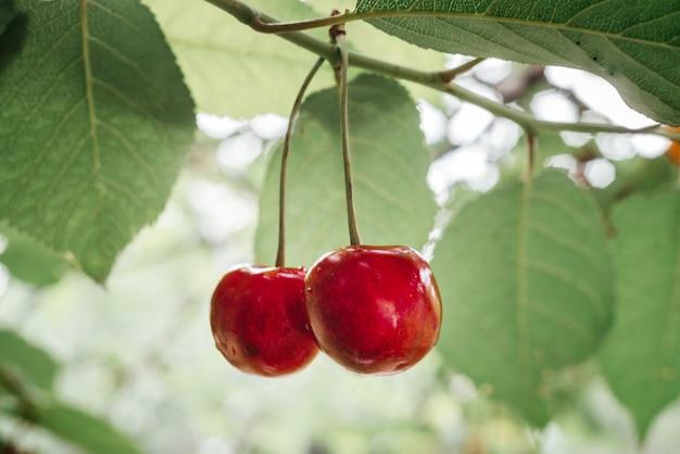 체리 나무 여름 녹색 보케 배경에 잘 익은 달콤한 체리 클로즈업, 비타민과 항산화제가 풍부한 여름 과일