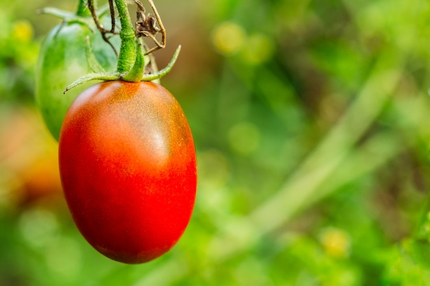 Ripe tomato on a branch on a green background