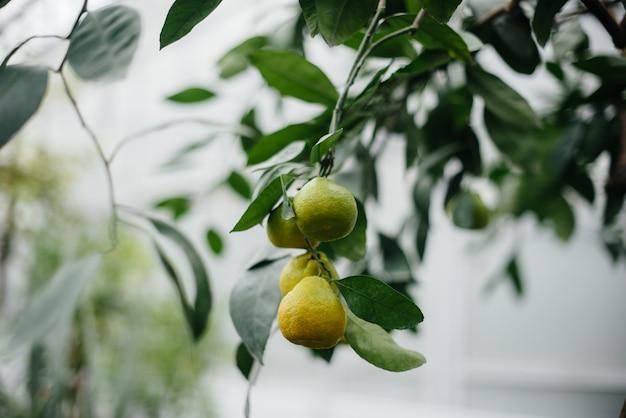 잘 익은 열대 과일은 나무에서 자랍니다. 밀림. 숲 프리미엄 사진