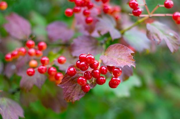 夏の茂みに熟したガマズミ属の木の果実