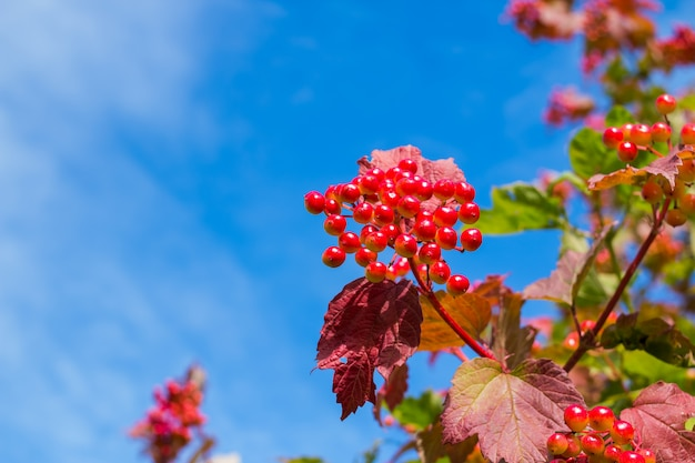 Ripe viburnum berries and yellow autumn leaves on blue sky.  harvest time, autumn season.