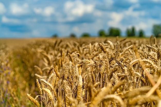 Спелая пшеница против красивого неба с облаками. золотая пшеница. выборочный фокус. закройте вверх.