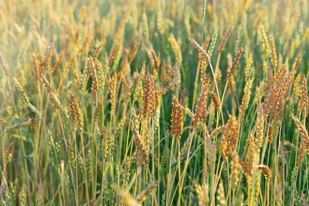 Ripe wheat in an agricultural field. harvest time. spike of wheat close up. natural rural landscape.