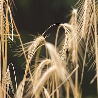 Ripe wheat ears on field against black background