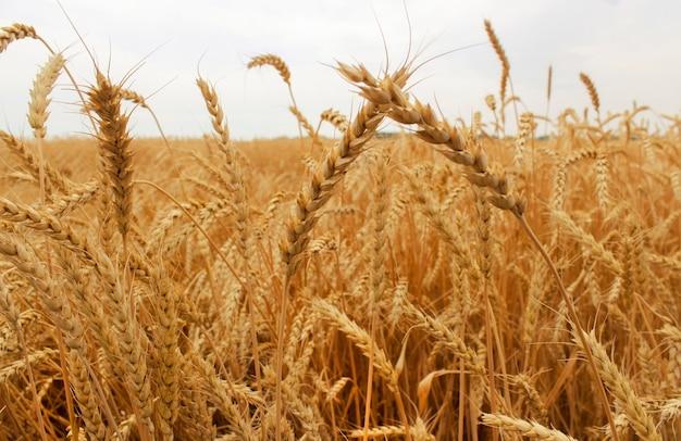 麦畑のクローズアップで熟した麦の穂